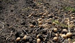 Զգուշացնում է գյուղնախարարությունը. արագացնել բերքահավաքը