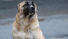 Հայաստանի սահմանները պաշտպանելու գործում զինծառայողներին շուտով կօգնեն հայկական գամփռ ցեղատեսակի շները
